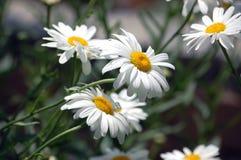 Weiße Gänseblümchen Stockbilder