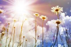 Weiße Gänseblümchen auf blauem Himmel Lizenzfreie Stockbilder