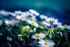 Weiße Gänseblümchen auf blauem Hintergrund Stockbild