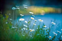 Weiße Gänseblümchen auf blauem Hintergrund Stockbilder
