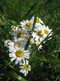 Weiße Gänseblümchen auf dem Sommerfeld stockfotografie