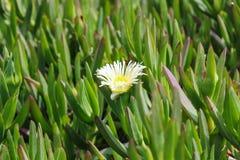Weiße Gänseblümchen auf dem Sommerfeld lizenzfreie stockfotos