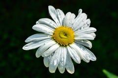 Weiße Gänseblümchen der Blume Lizenzfreies Stockbild