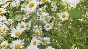 Weiße Gänseblümchen, die in den Wind beeinflussen stock video