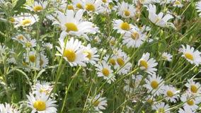 Weiße Gänseblümchen, die in den Wind beeinflussen stock footage