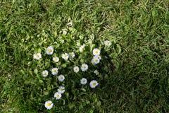 Weiße Gänseblümchen, die im Gras wachsen Lizenzfreie Stockbilder