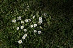 Weiße Gänseblümchen, die im Gras wachsen Stockbilder
