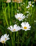 Weiße Gänseblümchen, die wild wachsen Lizenzfreie Stockbilder