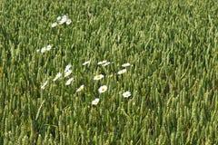 Weiße Gänseblümchen im Getreidefeld, die Niederlande Stockfoto