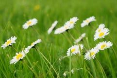Weiße Gänseblümchen am Sommertag Stockbild