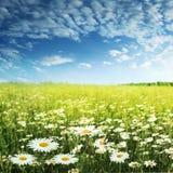 Weiße Gänseblümchen und blauer Himmel. lizenzfreie stockbilder