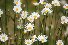 Weiße Gänseblümchenblumen Stockfoto
