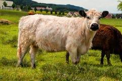Weiße Galloway-Kuh lizenzfreie stockfotos
