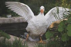 Weiße Gans, die aus den Teich herauskommt Stockfotos