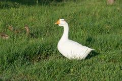 Weiße Gans mit jungen Enten Stockfoto