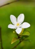 Weiße Gardenie mit grünen Blättern Stockfoto