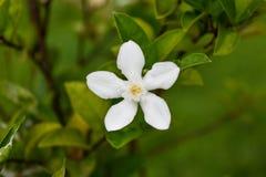 Weiße Gardenie mit grünen Blättern Lizenzfreie Stockbilder