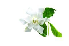Weiße Gardenie u. x28; jasminoides, Gardenie jasmine& x29; und grünes Blatt ist Lizenzfreies Stockbild