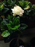 Weiße Gardenieanlage Lizenzfreies Stockfoto