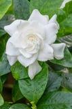 Weiße Gardenieblume mit glänzenden grünen Blättern stockbild