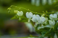 Weiße Garten-Blumen Stockbild