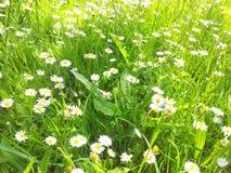 Weiße Gartengänseblümchen am hellen sonnigen Tag des grünen Grases Stockfoto