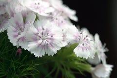 Weiße Gartennelke stockfoto