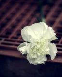 Weiße Gartennelke stockfotos