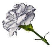 Weiße Gartennelke Blühen Sie auf t einen Weiß lokalisierten Hintergrund mit Beschneidungspfad Nahaufnahme Keine Schatten Geschoss Lizenzfreies Stockbild