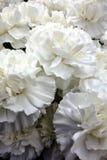 Weiße Gartennelken Stockfoto