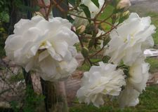 Weiße Gartennelken-Blume Stockfoto