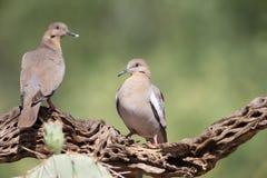 Weiße geflügelte Tauben auf Niederlassung Lizenzfreies Stockbild