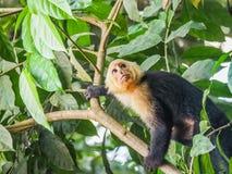 Weiße gegenübergestellte Capuchin Ansichten um Costa Rica Lizenzfreies Stockbild