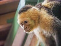 Weiße gegenübergestellte Capuchin Ansichten um Costa Rica Lizenzfreie Stockfotografie