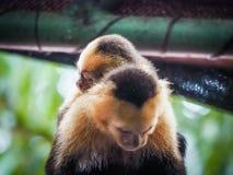 Weiße gegenübergestellte Capuchin und Baby Ansichten um Costa Rica Lizenzfreies Stockbild