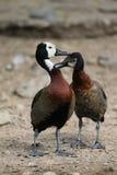 Weiße gegenübergestellte Enten Lizenzfreie Stockbilder