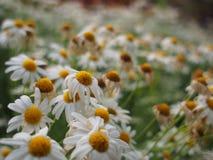 Weiße gelbe Blume lizenzfreie stockbilder