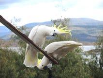 Weiße gelbe Kakadus mit Haube Stockbild