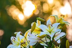 Weiße gelbe Lilien bei Sonnenuntergang im Garten lizenzfreie stockfotos