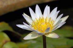 Weiße gelbe Lotus-Blume und Lotus-Blume Stockbild