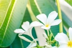 Weiße gelbe Plumeria spp-Frangipaniblume Lizenzfreie Stockfotos