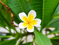 Weiße gelbe Plumeria- und Grünblätter Lizenzfreies Stockfoto