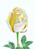 Weiße gelbe Rose Lizenzfreie Stockbilder