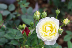 Weiße gelbe Rosen im Garten Lizenzfreie Stockbilder