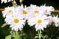 Weiße gelbe Sun-Blumen stockfotos