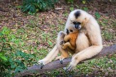 Weiße Gibbonmutter und junger Gibbon am Stumpf Stockfoto