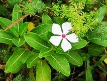 Weiße glänzende Rose stockbild