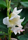 Weiße Gladiole Gandavensis stockbilder
