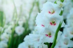 Weiße Gladioleblume auf dem Gebiet Darstellung zur herrlichen Schönheit und zum Versprechen Stockfoto