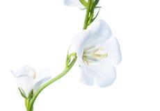 Weiße Glockenblume auf einem weißen Hintergrund, lokalisiert Lizenzfreie Stockbilder